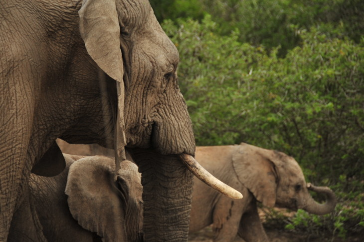 43 SH1_8601 elephant.JPG